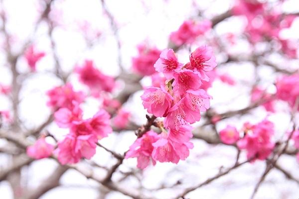 Vào ngày 6/1, lễ hội Hoa Anh đào - Pá Khoang - Điện Biên năm 2018 sẽ khai mạc tại đảo hoa. Đến đây vào dịp này du khách sẽ không chỉ thưởng lãm hoa anh đào mà còn tham gia vào các hoạt động văn hóa Nhật Bản như thưởng thức món ăn, xem biểu diễn nghệ thuật, thăm các di tích lịch sử Điện Biên.