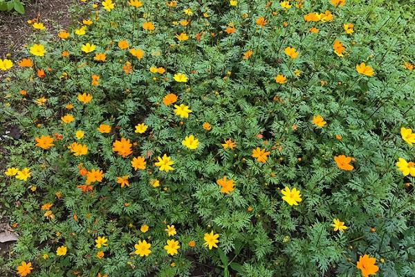 Trên đảo còn có nhiều loại hoa khác cũng đang độ khoe sắc như: mimosa, phong lan, tulip, ly, cúc…