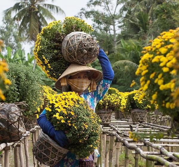 Thu hoạch hoa tại Làng hoa Sa Đéc