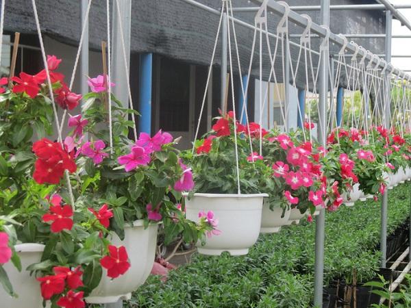 Những chậu hoa khoe sắc đón chào mùa xuân về