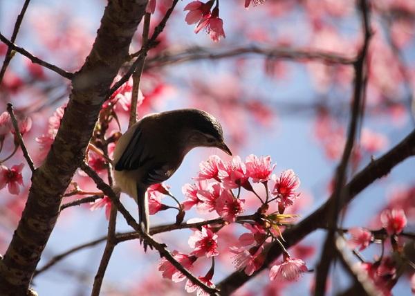 Không giống cây anh đào của Nhật Bản hay Hàn Quốc, mai anh đào ở Việt Nam có hình dáng giống cây mận, hoa năm cánh như hoa mai nên được gọi là mai anh đào.
