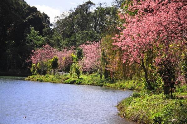 Mai anh đào chủ yếu được trồng dọc bờ hồ Đăk Ke trong khu du lịch sinh thái.