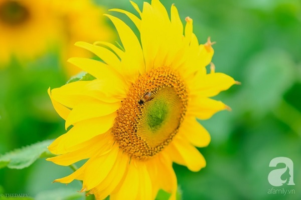 Cánh đồng hoa có diện tích lên đến cả trăm hecta, nên đến đây chụp ảnh đi bộ mỏi chân cũng không hết.