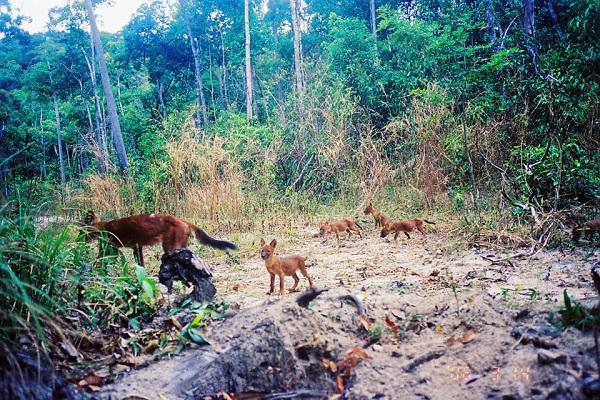 Khám phá rừng Mondulkiri hoang dã: Campuchia có nhiều khu rừng nguyên sinh, trong đó có Mondulkiri, một trong những khu rừng hoang dã cuối cùng của châu Á. Đây là nơi sinh sống của nhiều loài động vật quý hiếm, có nguy cơ tuyệt chủng như voi, báo, hổ hay tê giác. Ảnh: WWF.