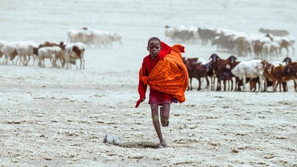 Bé trai Maasai chăn đàn dê của gia đình