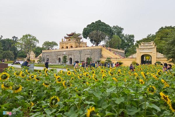 Hai vườn hoa hướng dương có tổng diện tích khoảng 2.000 m2 được trồng thành hai dải song song với tuyến đường Nguyễn Tri Phương và Hoàng Diệu đang thời kỳ nở rộ những bông vàng rực.