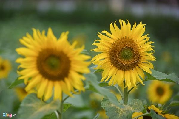 Hướng dương là loài hoa nở luôn mang nhiều ý nghĩa tốt đẹp, thể hiện niềm tin và hy vọng trong tình yêu, luôn hướng về điều tươi sáng nhất.