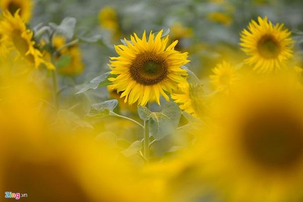 Hoa hướng dương được trồng vào thời điểm cuối năm, không khí mát mẻ, mỗi bông hoa có kích thước khá lớn, cây cao, có thể tươi được từ 1 đến 2 tuần.