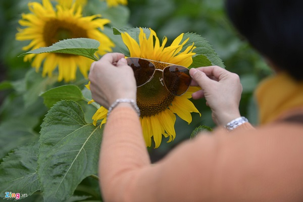 Du khách thích thú tạo hình cho bông hoa hướng dương.