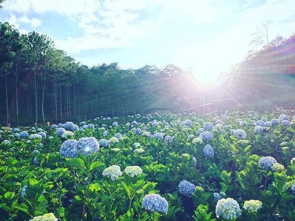 Thung lũng Tình yêu  Đây là khu vườn hoa cẩm tú nằm ngay trong thành phố và có diện tích lên đến 5.000 m2. Điểm đặc biệt của khu vườn này là nằm ngay gần khu rừng thông xanh mướt, nhiều khóm mọc ngay dưới tán thông nên bạn có thể thoải mái chụp hình mọi lúc trong ngày. Để vào đây bạn phải mua vé tham quan Thung lũng Tình Yêu, giá 100.000 đồng/người lớn. Ảnh: wattanai_win.
