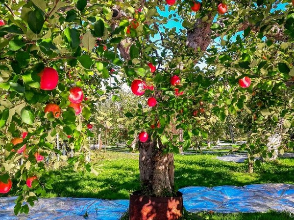 Nhắc đến táo Nhật, người ta thường nghĩ ngay đến táo vùng Aomori nổi tiếng. Do điều kiện thời tiết lạnh lẽo quanh năm cùng thổ nhưỡng đặc biệt khiến cho hương vị táo ở đây rất ngon, nhiều dinh dưỡng hơn so với táo thông thường. Có khoảng 300 loại táo khác nhau và hơn 2000 cây táo ở vùng này.