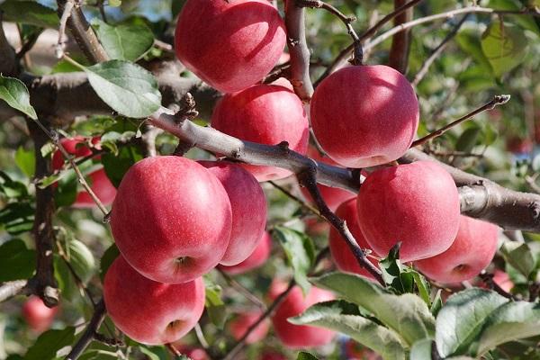 Năm 1987, táo bắt đầu được trồng ở Aomori trên đảo Honshu, sản lượng táo ở tỉnh này tăng dần qua từng năm. Sau 141 năm, Aomori đã cung cấp 450.000 tấn cho khắp đất nước, chiếm 60% sản lượng cả nước và 0.6% của thế giới.