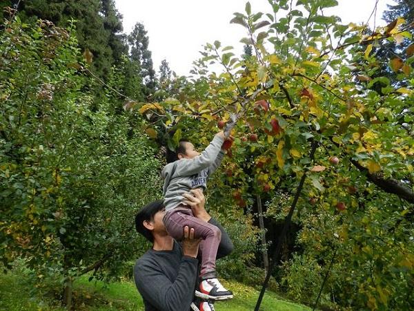 Ở Aomori có rất nhiều khu vườn táo dành cho khách muốn tham quan, mỗi nơi sẽ có mức giá khác nhau. Bên cạnh đó, tùy vào từng mùa mà bạn có thể tham gia vào tour hái cherry, nho, lê...rất vui và thú vị.