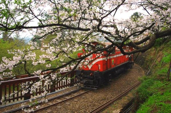 Alisan (giữa tháng 3 - giữa tháng 4)  Không giống núi Dương Minh, các cây hoa đào ở Alisan mọc dọc đường, hoa nở xen kẽ với màu xanh các loại cây khác trong rừng, tạo cảm giác tươi mát, thoải mái, dễ chịu.  Di chuyển: Bắt chuyến tàu cao tốc HSR ở ga Đài Bắc đến ga Chiayi hoặc ga Đài Trung. Từ ga Chiayi, bạn tiếp tục ngồi chuyến tàu lửa xuyên rừng đến Fenqihu rồi đi xe buýt lên Alisan.