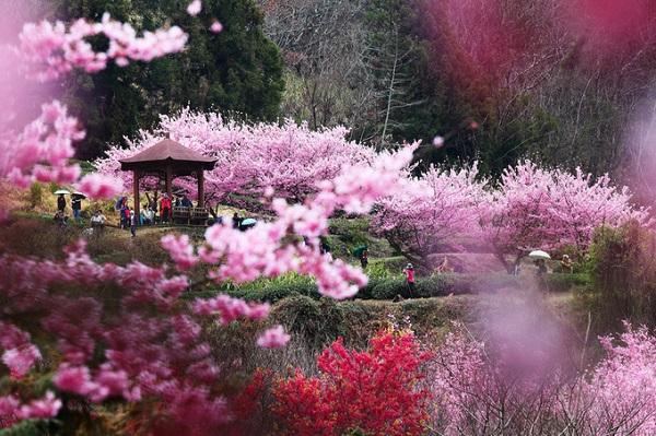 """Wuling farm (từ giữa tháng 2 đến cuối tháng 2)  Nằm trong thung lũng núi cao ở Đài Trung, Wuling farm được mệnh danh là thiên đường hoa anh đào ở Đài Loan. Đến đây vào mùa xuân, bạn như lạc vào """"rừng đào mười dặm"""" trong phim cổ trang Trung Quốc, lại được thưởng thức đặc sản cá hồi trứ danh. Không chỉ du khách mà người địa phương cũng muốn đến Wuling để dã ngoại, ngắm cảnh.  Di chuyển: Bắt chuyến xe buýt Lishan từ Đài Trung đến Fongyuan, sau đó chuyển sang xe chuyến xe buýt Wuling. Mỗi ngày chỉ có một vài chuyến khởi hành trong khung thời gian cố định, bạn nên kiểm tra trên mạng để biết thời gian xe chạy."""