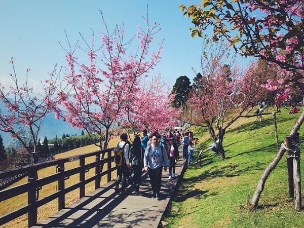 Nantou: Cingjing (từ giữa tháng 2 đến cuối tháng 3)  Cũng thuộc Nantou nhưng nằm hướng ngược với hồ Nhật Nguyệt, Cingjing là ngọn đồi nhỏ, hoa đào nở rộ, tiết trời mùa xuân rất mát mẻ, dễ chịu. Vài nhà hàng ở đây thiết kế mô phỏng các pháo đài, thêm bãi cỏ xanh khiến bạn cảm giác như đang lạc vào trời Âu.  Di chuyển: Khởi hành từ ga Gancheng hoặc HSR Taichung station hay ga Puli đều được. Sau đó bắt xe buýt đến Songgang (Cingjing Farm). Lưu ý, nhân viên ở đây hầu hết là người bản xứ, ít sử dụng tiếng Anh.