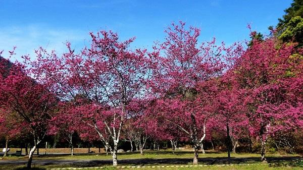 Aowanda (từ đầu tháng 2 đến giữa tháng 3)  Thuộc thị trấn Renai ở Nantou, gần Cịngjing, Aowanda khá nổi tiếng với người dân địa phương vì là điểm ngắm hoa anh đào vào những ngày đầu xuân ấm áp. Tản bộ ở đây, bạn sẽ bắt gặp những dòng suối nhỏ mát lành cạnh các gốc cây anh đào, trở thành điểm dã ngoại lý tưởng.  Di chuyển: Bắt xe buýt đến Nantou, từ Đài Trung hoặc thuê xe (nếu đi nhóm 4 - 8 người). Bạn nên dò thật kỹ lịch xe chạy bởi không có nhiều chuyến trong ngày dù là mùa cao điểm.