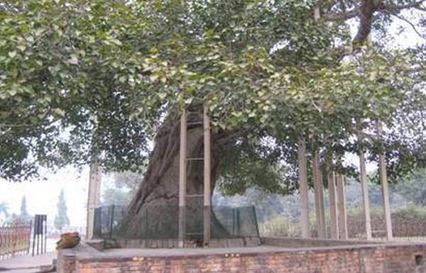 Cây Bồ Đề do tôn giả A Nan Đà trồng trước cổng tịnh xá Kỳ Viên, Ấn Độ - Ảnh: Giáo hội Phật giáo Việt Nam