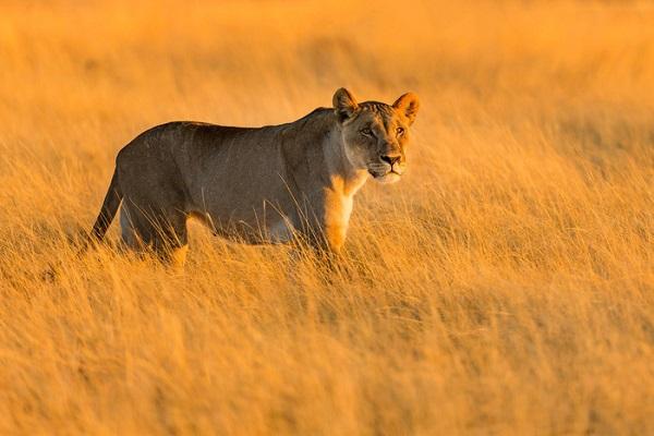 Báo ở Công viên quốc gia Etosha - Ảnh: Ian Plant