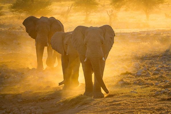 Voi ở Công viên quốc gia Etosha - Ảnh: Ian Plant