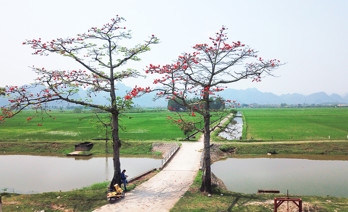 Tháng 3 - mùa gạo nở - cũng là mùa chở theo thương nhớ về thời thơ ấu êm đềm của bao người. Đây là loài hoa thân thuộc với người dân vùng đồng bằng Bắc Bộ, hầu như làng nào cũng có cây gạo đầu làng, như dấu hiệu để đánh dấu cho những người con xa quê trở về nhà.