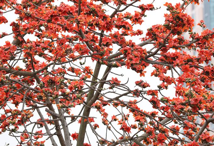Hoa gạo thường nở đồng loạt, khi nở sẽ rụng hết lá, chỉ còn để lại một màu đỏ nổi bật giữa những tán cây nâu trầm.