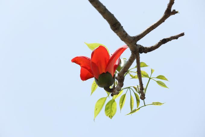 Hoa gạo cánh dày, màu đỏ cam rực rỡ như những đốm lửa, in hình lên nền trời xanh xám của những ngày mùa xuân ẩm ướt. Khi rụng xuống, hoa vẫn giữ nguyên 5 cánh như lúc chớm nở.
