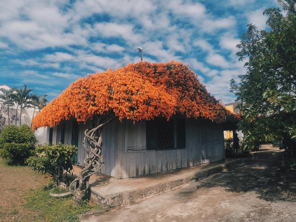 Toàn bộ mái nhà được phủ kín một màu hoa da cam rực rỡ cả một góc trời