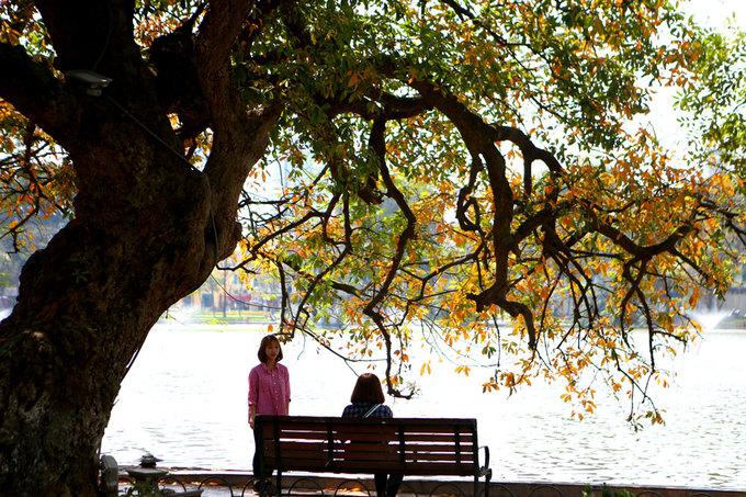 Bên hồ Gươm có hai cây lộc vừng khá to và đẹp với tán lá rộng.