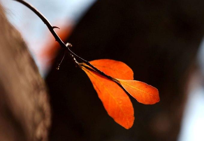 Hàng năm, khoảng tháng 3 là thời điểm lá lộc vừng chuyển từ xanh sang vàng rực và đỏ trước khi rời cành cây.