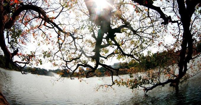 Một trong những cây lộc vừng cổ thụ nằm ở bờ Hồ Gươm đổi màu lá vàng rực tạo nên khung cảnh lãng mạn.