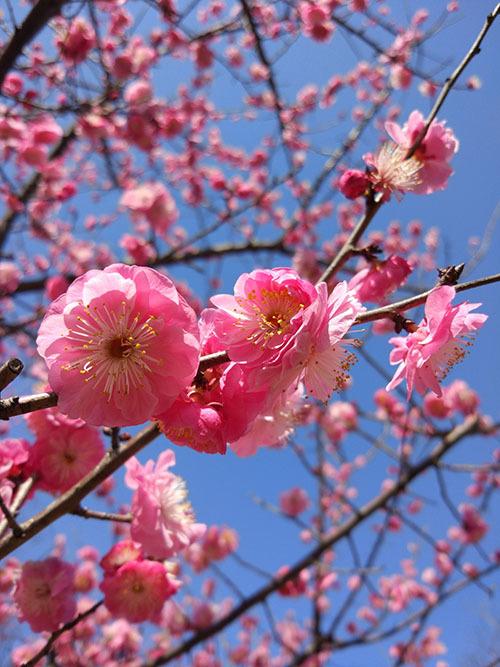 Hoa đào: Du khách có thể đến công viên Thế kỷ, Vườn Thực vật Thượng Hải và nhiều công viên khác.