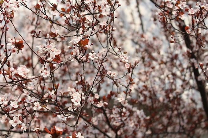 Hoa anh đào: Thường từ giữa tháng 3 đến tháng 4, công viên Cố Thôn (quận Bảo Sơn) là nơi tổ chức lễ hội hoa anh đào lớn nhất Thượng Hải. Ngoài ra bạn có thể đến trường Đại học Đồng Tế, ngôi trường này nổi tiếng với con đường hoa anh đào.