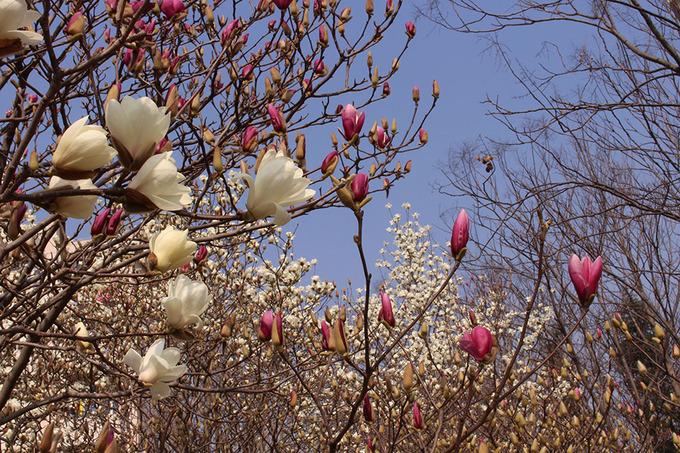 Hoa mộc lan: Sau khi hoa anh đào tàn là đến lúc mộc lan, ngọc lan nở rộ. Mộc lan và ngọc lan được trồng nhiều nơi trên đường phố Thượng Hải. Một điểm khá lý tưởng để đến tham quan là trường Đại học Thượng Hải (quận Bảo Sơn), bởi huy hiệu của trường có biểu tượng là hoa ngọc lan. Loài hoa này được trồng rất nhiều nơi trong hoa viên của trường.