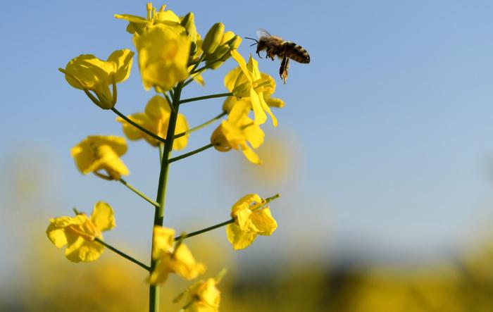 Một con chú ong đang hút mật trên bông hoa cải. Mùa xuân đến, những bông hoa trên cánh đồng đồng loạt nở rộ cũng là mùa nuôi ong lấy mật của những người dân địa phương.