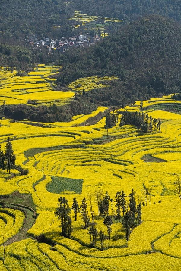 Những cánh đồng hoa cải nổi bật giữa khung cảnh núi non điệp trùng của tỉnh Vân Nam. Cánh đồng hoa cải ở Luoping được xem là cánh đồng hoa cải rộng lớn nhất, đẹp và quyến rũ nhất tại Trung Quốc.