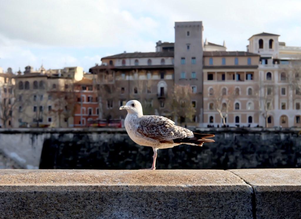Không chỉ riêng Rome mà những thành phố mình đến tại châu Âu, đều có rất nhiều mòng biển. Chúng rất bạo dạn, dù bạn có tới thật gần để chụp ảnh cũng không vấn đề gì.