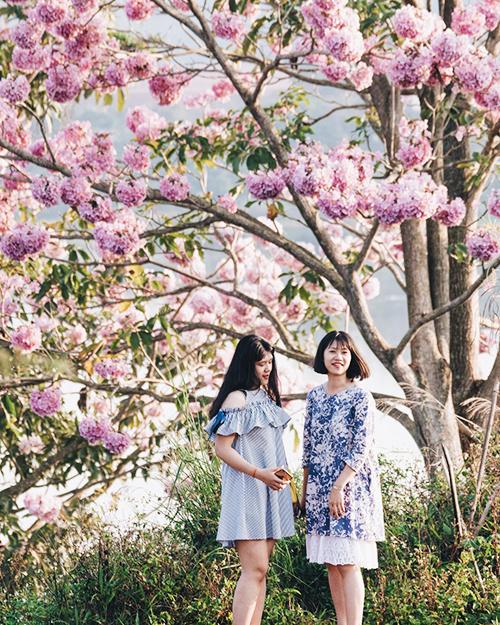 Hoa phấn hồng còn được nhiều người gọi là hoa kèn hồng. Đây là loại cây thân gỗ, chiều cao trung bình 10 – 15 m. Hoa khi nở có màu hồng phấn bắt mắt. Hiện giống cây này tại Bảo Lộc đã trụi lá, khoe những chùm hoa màu hồng nhạt phủ kín tán cây. Ảnh: Phương Anh.