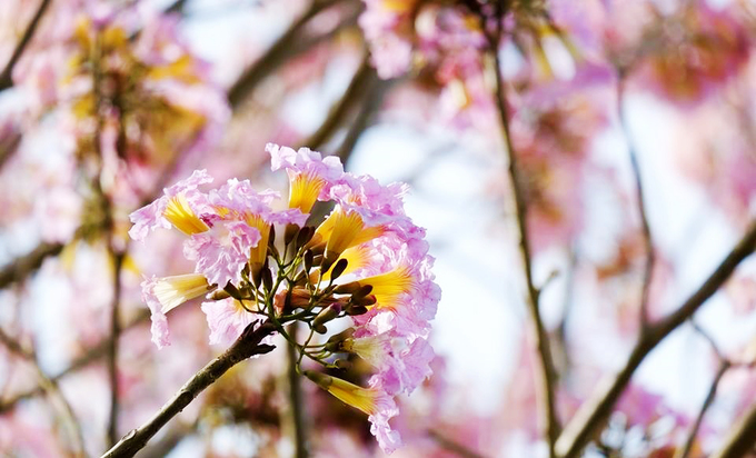 Giống hoa này có nguồn gốc từ châu Mỹ, thuộc họ Đinh, có tên khoa học là Tabebuia Rosea. Cây mọc tán hình dù và hoa có hình chuông khi nở bung, mọc thành từng chùm. Ảnh: Lê Hoàng.