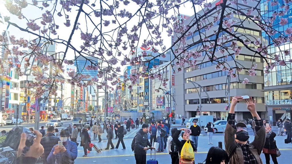 Hoa anh đào khoe sắc tại thủ đô Tokyo