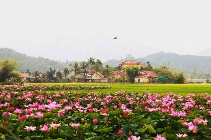 Ninh Hưng là một xã thuần nông thuộc thị xã Ninh Hòa, tỉnh Khánh Hòa. Nơi đây ngoài trồng lúa, người dân còn trồng sen để lấy hạt.