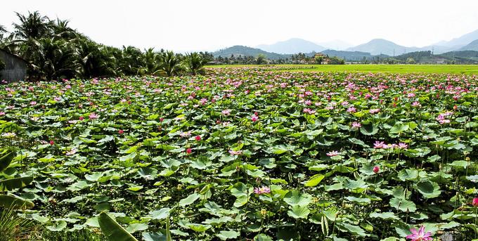 Đi vào các đầm sen lớn của xã, du khách sẽ được ngắm khung cảnh đẹp như tranh với màu hồng của hoa xen kẽ màu xanh của lúa, thấp thoáng xa xa là làng quê.