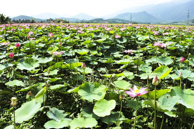 Sen ở đây mới được trồng để thu hoạch hạt chứ không khai thác du lịch. Du khách có thể đến chụp hình nhưng chú ý tránh tác động đến hoa.