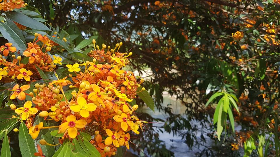 Cận cảnh vẻ đẹp của hoa 'ri' hay còn gọi là hoa 'trang rừng'.