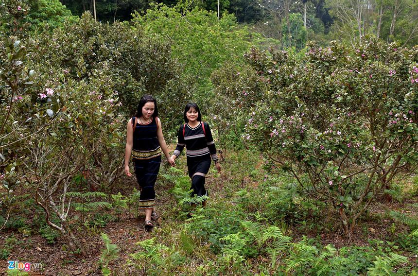 """Những ngày này, giới trẻ từ nhiều tỉnh, thành cả nước về khu du lịch sinh thái Măng Đen, huyện Kon Plong (Kon Tum) chiêm ngưỡng hoa sim nở rộ trên khắp các triền đồi, khu rừng nơi đây. Từ lâu du khách ví Măng Đen là """"Đà Lạt ở Bắc Tây Nguyên"""", địa điểm nghỉ dưỡng lý tưởng vào ngày hè. Từ trung tâm TP Kon Tum, du khách có thể đi ôtô hoặc xe máy đi trên quốc lộ 24 về phía đông bắc 54 km."""