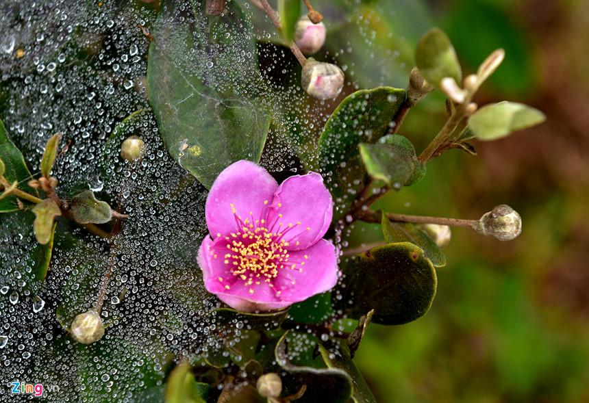 Màn sương mai trong veo bao bọc đóa hoa sim tạo bức tranh thiên nhiên kỳ thú giữa núi rừng hoang sơ Măng Đen.