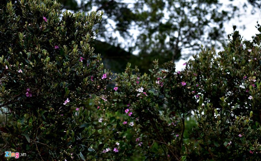 Măng Đen có khí hậu ôn đới nên vào mùa nào hoa cũng đua nở. Tiết trời giao mùa cuối xuân đầu hạ, du khách về đây tham quan chụp ảnh selfie lưu lại kỷ niệm đẹp giữa không gian núi rừng khoe sắc tím hoa sim hoang sơ.