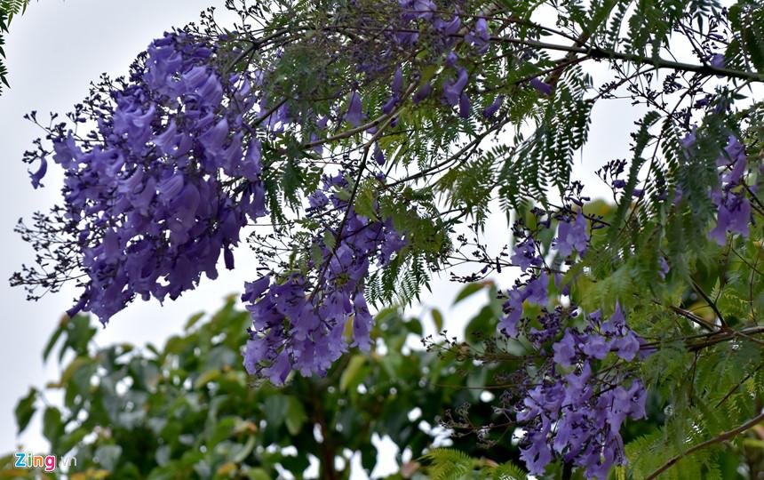 """Từng chùm hoa phượng tím tạo không gian thơ mộng trên các tuyến đường Măng Đen. """"Tôi ấn tượng với không gian thiên nhiên hoang sơ, đặc biệt sắc hoa sim cùng với phượng tím hòa hợp tạo nên bản tình ca núi rừng Tây Nguyên. Đây là chuyến du lịch trải nghiệm tuyệt vời nhất từ trước đến nay, tôi hy vọng tương lai gần nhất sẽ quay lại thăm mảnh đất này"""", chị Giao chia sẻ."""