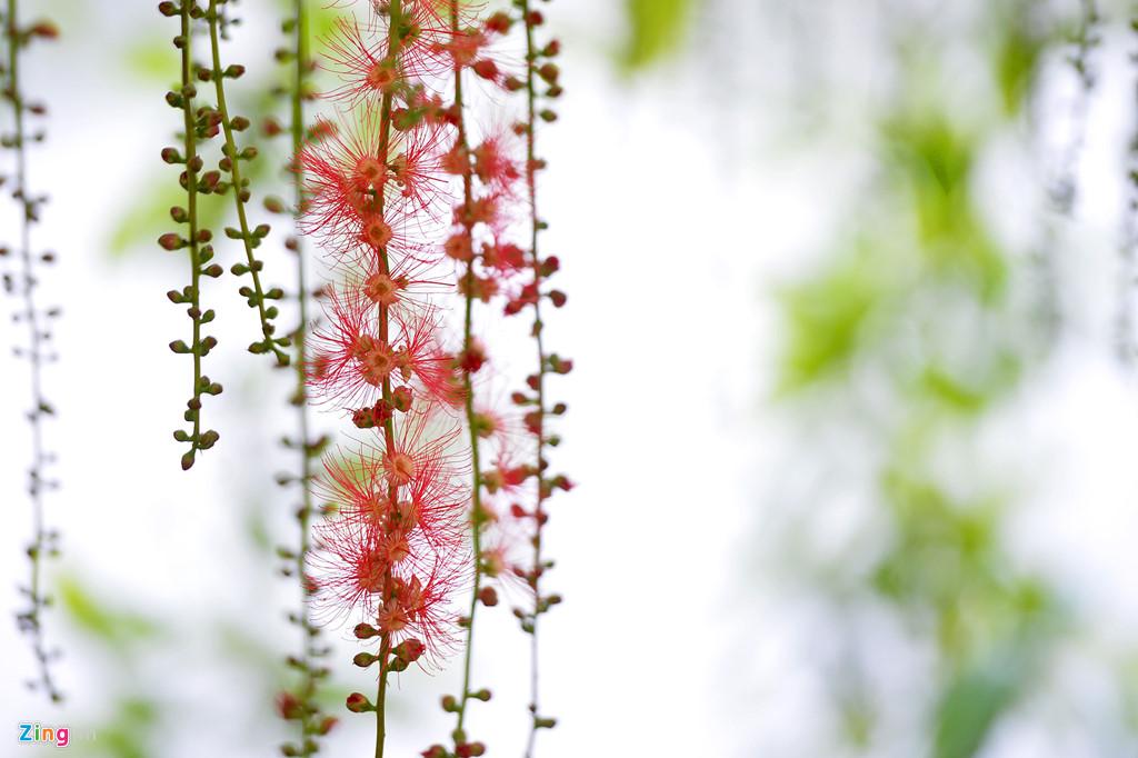 Hoa âm thầm khoe sắc hương từ hoàng hôn cho đến sáng sớm hôm sau.