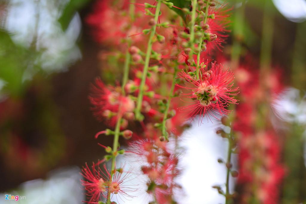 Để ngắm loài hoa này lúc đẹp nhất là vào mỗi buổi sáng sớm. Lúc này cánh còn tươi, thậm chí còn đọng hơi sương.
